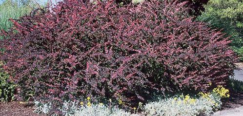 deer repellent for gardens. PLANTS THAT DEER (USUALLY) WON\u0027T EAT (a.ka. Deer-resistant Plants) Deer Repellent For Gardens